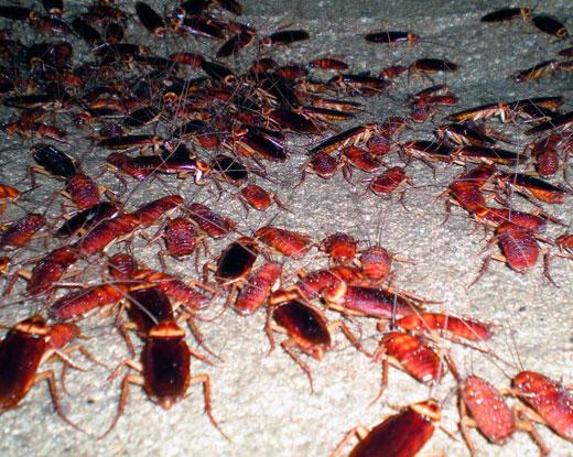 Como eliminar las cucarachas de forma f cil en solo 24 for Como eliminar cucarachas del desague